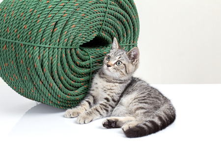 beside: A little kitten gray color sitting beside the big green rope.