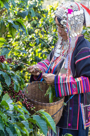 plantation: Woman indigenous with clothing made of silver and stay in northern part of Thailand was harvesting ripe coffee bean. Stock Photo