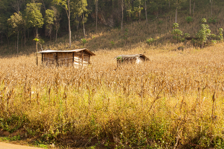 rainless: Old hut and Dried corn from drought in summer, (create with warm tone)