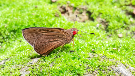 The Common Redeye Matapa aria Moore, It is a type of little butterfly on green moss on the rock, Fuselage and wings is brown and eyes red.