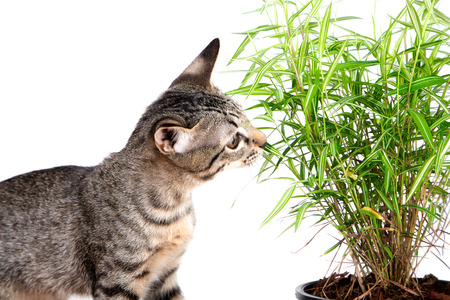 The young cat tiger pattern eating fresh green leaf of bamboo on white background, copy space, it always eat grass when feeling sick and leaves little like medicine and vitamin that good for cat 版權商用圖片