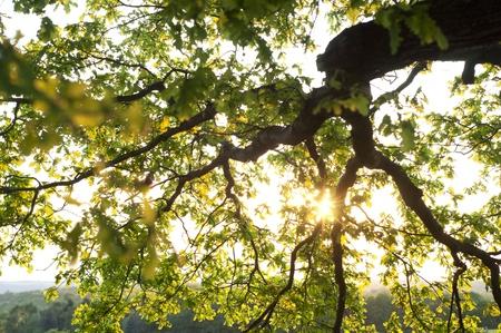 Old green tree - looking towards sun