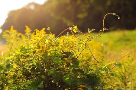 Green creeper on a fresh summer meadow