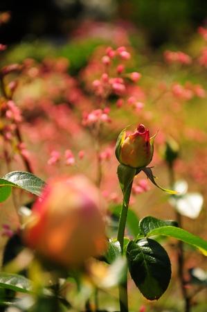 Rose in a summer garden Stock Photo