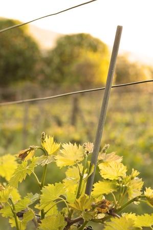 Vineyard - close up on a vine leaf