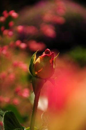 Summer rose in a garden
