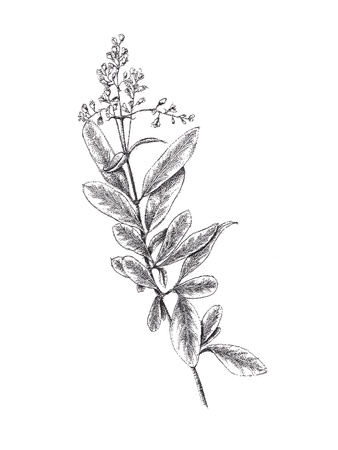 vulgare: Sketch - Hand drawn branch with leaves  ink and pen   Ligustrum vulgare  Stock Photo