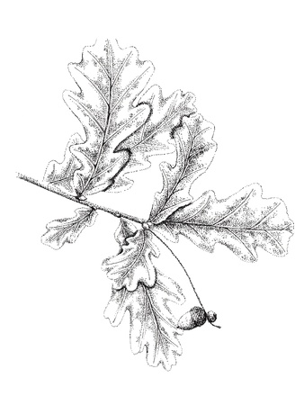 quercus:  Hand drawn branch with leaves  ink and pen   Quercus