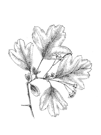 crata�gus: Dibujado a mano rama con hojas de tinta y pluma Crataegus