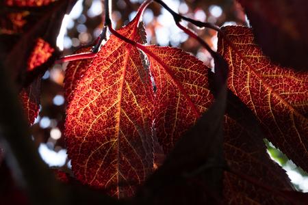 Closeup of blood plum red brilliant leaves