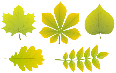 Collection of different types of leaves. Vector.