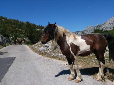 Wild horse on the road in Croatia