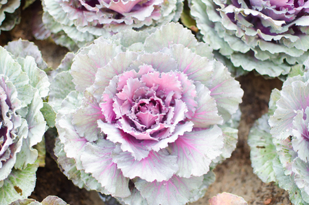 flowering kale: cabbage in the garden.cabbage.