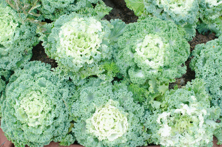 flowering kale: cabbage in the garden.cabbage.focus around font of picture.