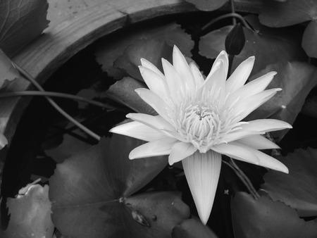 waterlily: Lotus.floral.blooming waterlily.