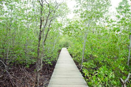 mangrove: mangrove forest.forest seaside.Thailand