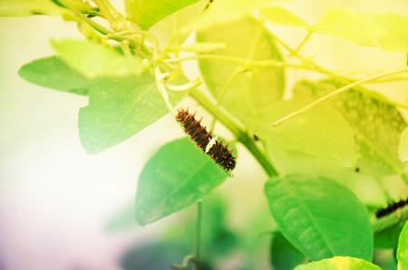 caterpillar on branch tree.