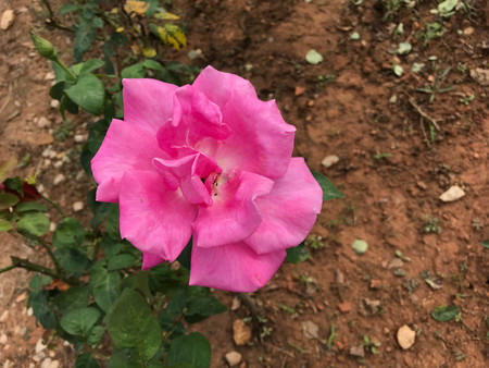 pink rose in the garden. 免版税图像