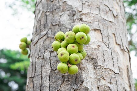 Figs on the branch of a fig tree - Image.