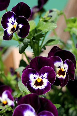 Group of violet- white pansies