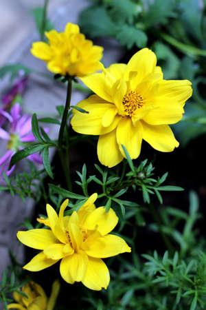 Blooming yellow bidens flowers