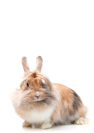 lionhead: funny lionhead rabbit isolated on white Stock Photo