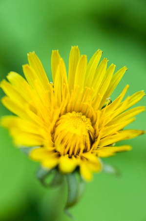 closeup of  yellow dandelion over green background photo
