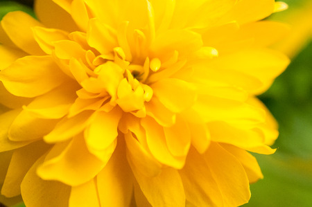 closeup of big yellow dandelion over green background photo