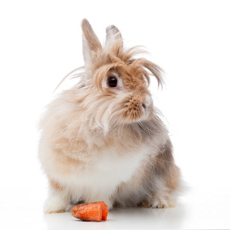 lionhead: funny lionhead rabbit with carrot isolated on white Stock Photo