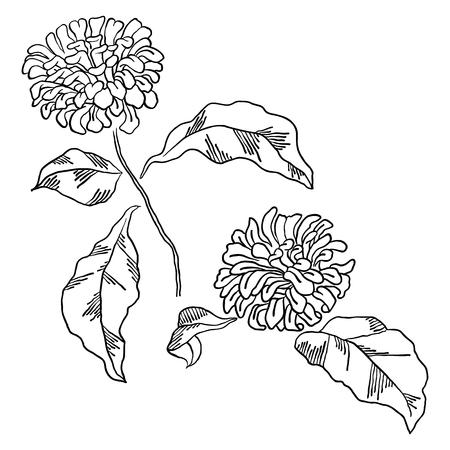flower head: sketch of beautiful  chrysanthemum flowers on white background.