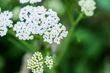 millefolium: White yarrow flower close-up macro background. Achollea alpina var longiligulata