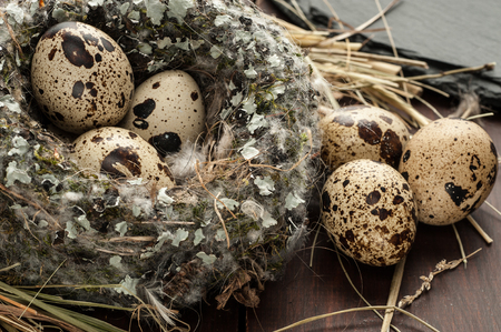 quail eggs in a nest over dark old wooden background close-up Stock Photo