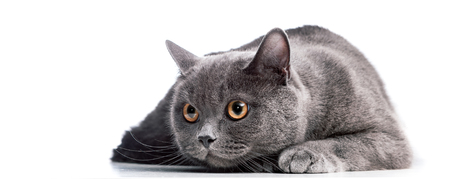 Scared  British Shorthair cat isolated on white.