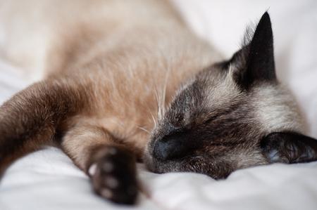 Siamese cat s sleeping.