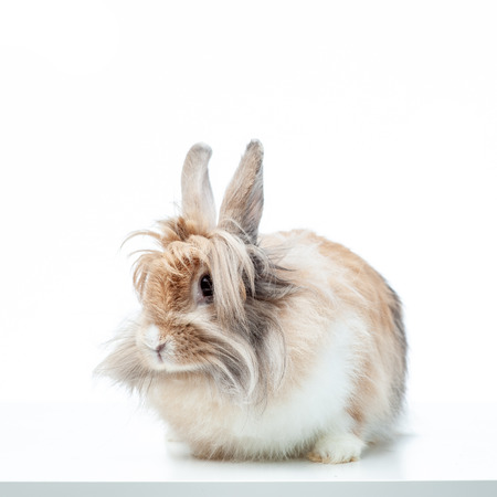 Bunny rabbit portrait looking frontwise to viewer on white background