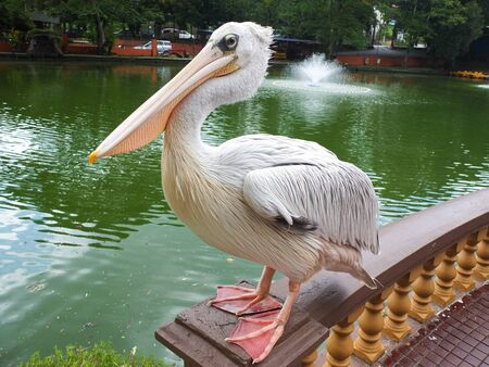 Pelican stands on a stone fence at Johor Bahru Zoo.