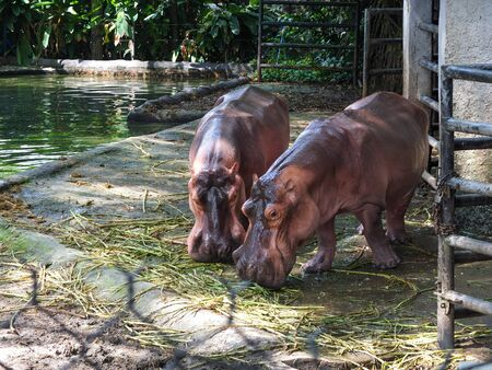 two wet hippos close-up eating grass at the zoo.