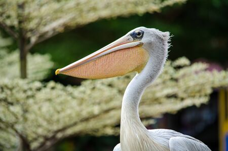 Pelican head close-up on a background of light trees. Banco de Imagens