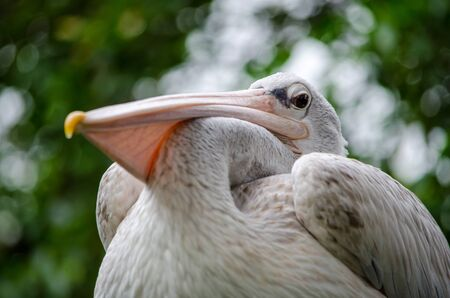 The great white pelican sitting on a tree.