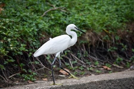 White heron walks slowly along the edge of the sidewalk at Lumpini Park in Bangkok.