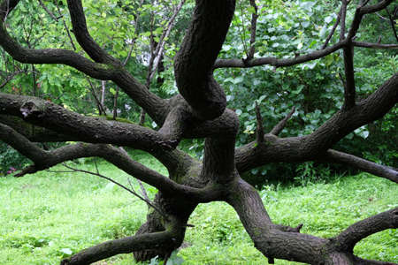 Intertwined tree branches, green tree leaves. Beautiful nature background. Archivio Fotografico