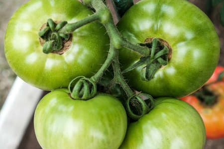 Close-up of green large tomatoes in a vegetable garden. Bio agriculture. Very tasteful tomatoes grown in the family garden, without chemicals. Family tradition of growing vegetables at home.