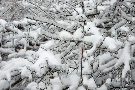 A tree branch covered with ice and snow in winter.