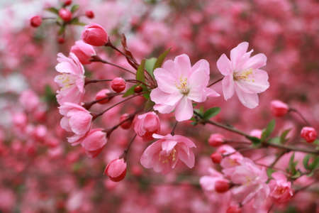 Close up of beautiful pink blossoms on tree