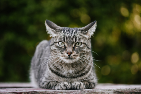 A domestic cat is laying on a old wooden table against a background of green plants. A non-pedigreed cat, circles in blurred background, looks at the camera. A pet in nature. Bokeh. The village, the park. Summer. Stock Photo