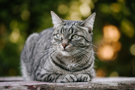 A domestic cat is laying on a old wooden table against a background of green plants. A non-pedigreed cat, circles in blurred background, looks to the left. A pet in nature. Bokeh. The village, the park. Summer.
