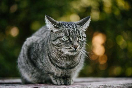 A domestic cat with cute paws sitting on a old wooden table against a background of green plants. A non-pedigreed cat, circles in blurred background, looks to the left. A pet in nature. Bokeh. The village, the park. Summer.