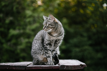 A domestic cat in the centre of the frame, is sitting on a wooden table against a blurred background of green plants. Turned, looking to the left. A pet in nature.