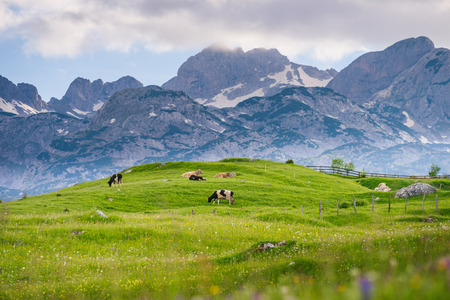 Cows graze in the alpine meadow. High mountains on a background. Flowers in the foreground. Stock Photo