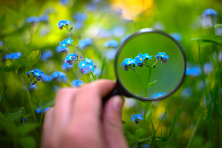 Research concept. Flower on the blooming sunny field under the magnifying glass. Botanic study. Magnifier in hand. Forget-me-not.